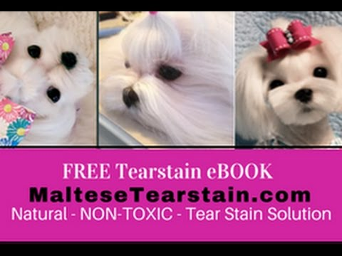 Maltese Facial Tear Stain Remover THAT WORKS 😀