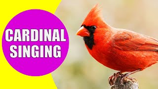 NORTHERN CARDINAL Singing Sounds | Learn Birds with Kiddopedia #Shorts