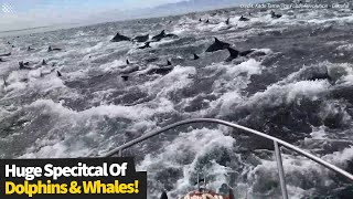Stunning footage Of Huge Pod Of Dolphins And Whales Feasting Together