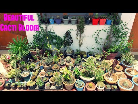 Beautiful Cacti Bloom | Cactus Plants in Full Bloom