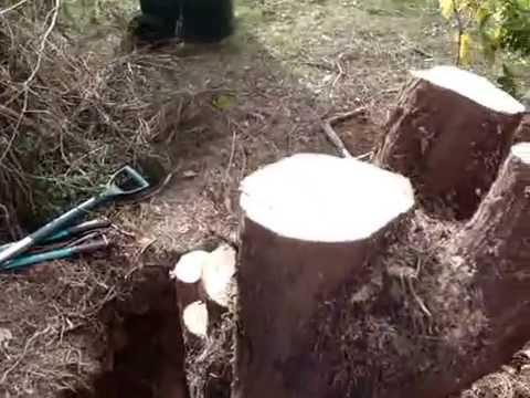 Leylandii stump removal