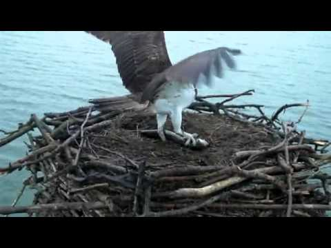It took Mrs5R 10 minutes to catch this fish - Rutland Osprey Project