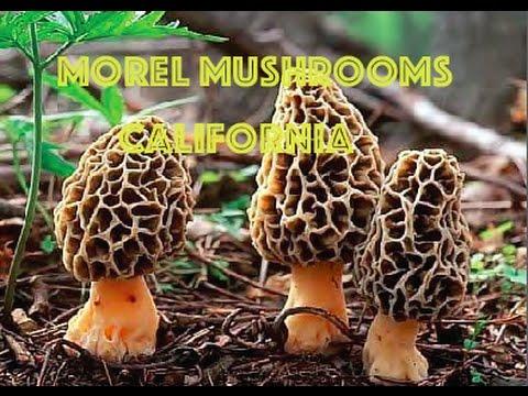 Morel Mushrooms California