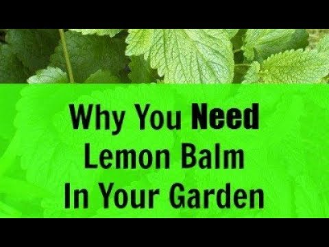 Why You Need Lemon Balm in Your Your Garden - Powerful Health Benefits - Elixir of Life