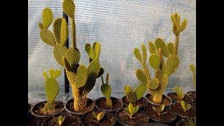 How to grow cactus opuntia microdasys