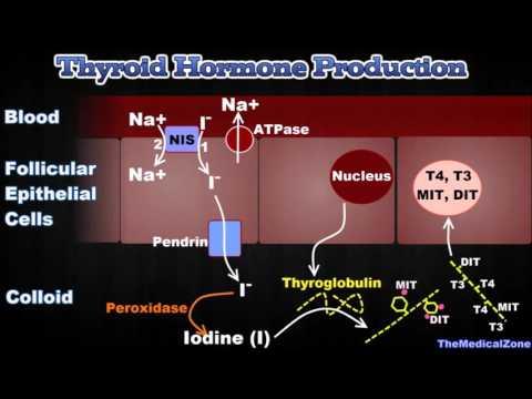 Thyroid Gland and Thyroid Hormones - [T3, T4, Thyroglobulin, Iodide Trapping etc.]