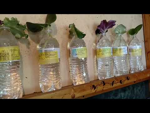 How I propagate African violets