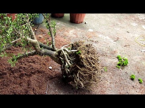 How to create multiple bonsai trees from the roots