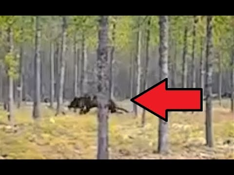 VERY IMPRESSIVE TIMBER WOLF FOOTAGE!! - Frightened Man Films Dog Chased By