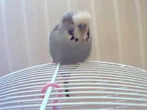 Jibijip the Budgie Chirping