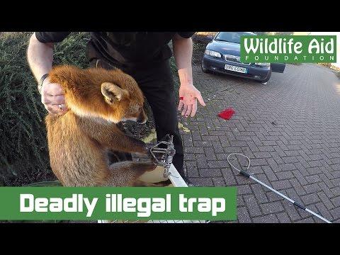 Deadly illegal trap and wildlife rescuer bitten!