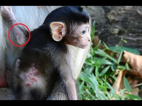 Real Bot Fly Monkey Disease or Not? Why not Better? MV 0151