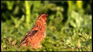 #x202b;صوت طائر الفري (السمان)#x202c;lrm;