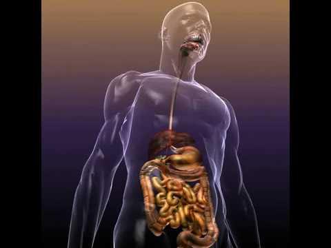 3D Model of Human Anatomy: Digestive System