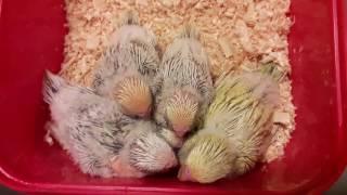 Как быстро оперяются птенцы волнистого попугая