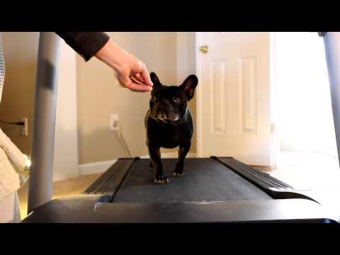 George the french bulldog runs on a treadmill - New Years Resolution funny