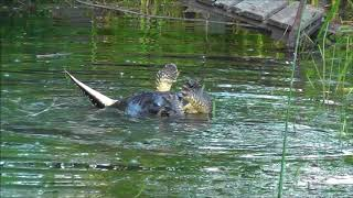 River Otter vs Snapping Turtle (warning...disturbing content)