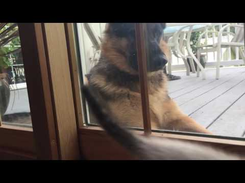 German Shepherd Dog meets Ragdoll kitten!