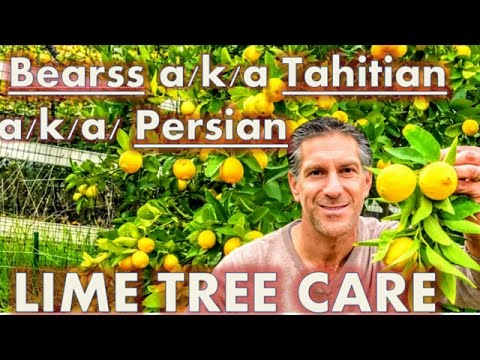 Bearss a/k/a Tahitian a/k/a/ Persian Lime & Mexican Lime Trees   Citrus Care