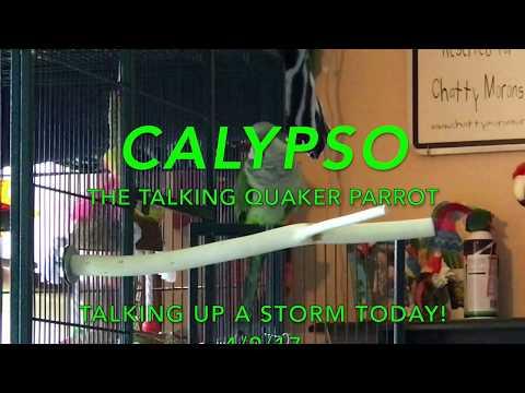 Clypso, The Talking Quaker Parrot