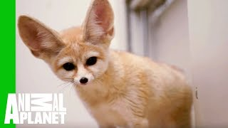 Charlie The Fennec Fox Is Back Home At The Bronx Zoo