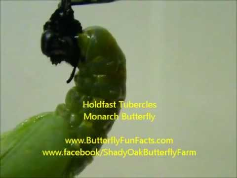 Monarch Butterfly - how does a chrysalis hold on?