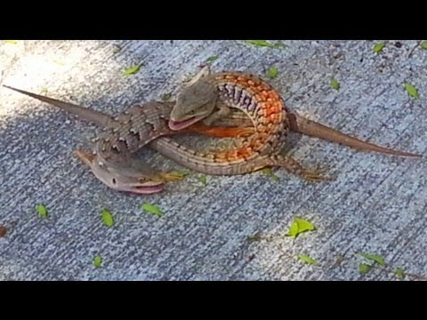 Two Lizards Fighting ★ Street fighter reptile ;)
