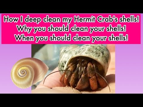 How To Clean Hermit Crab Shells