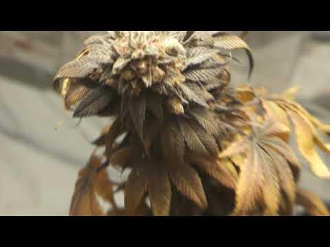 Lila Cannabis Züchten