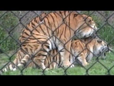 Xxx Mp4 Tigers Sex At The Zoo 3gp Sex