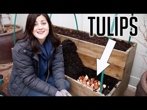 Planting Tulips in DECEMBER!!!