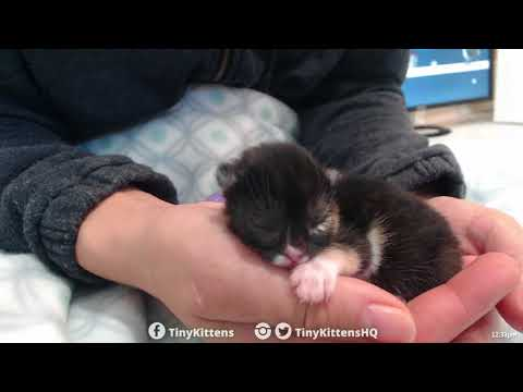 Tiny cleft palate kitten Aura, asleep in my hand - TinyKittens.com