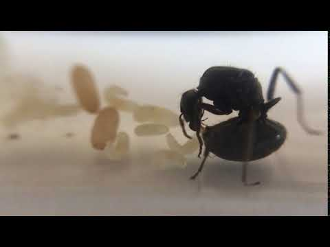 My ant queen laying an egg
