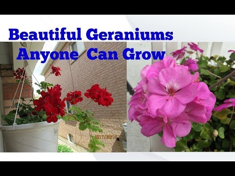 Geraniums an easy plant to care