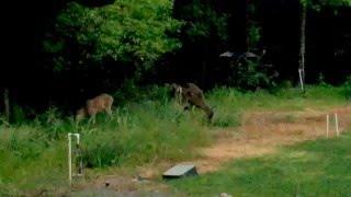 2000mw Lazer vs 3 Deer