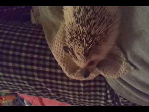 Cute Hedgehog Carrying a Towel Around