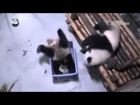 Cute Panda got lost in a basket funny