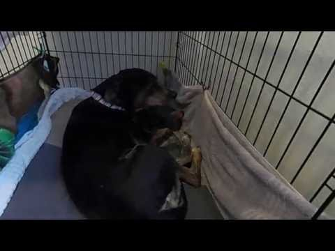 Mama dog takes care of new born puppies