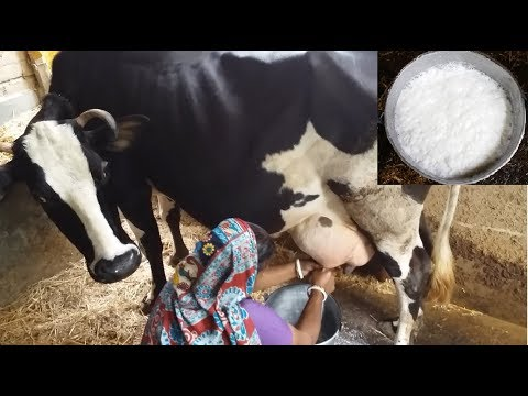 How to milk cows by hand by a village woman | Traditional way to milk cow | Milking two big cow hand