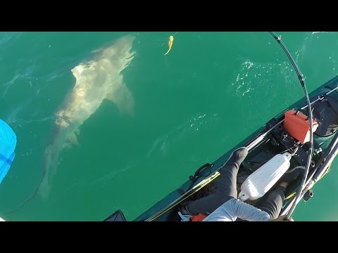 Paddle kayak versus Bull Shark