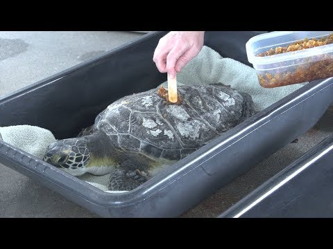 How These Bees Are Helping Injured Turtles Recover