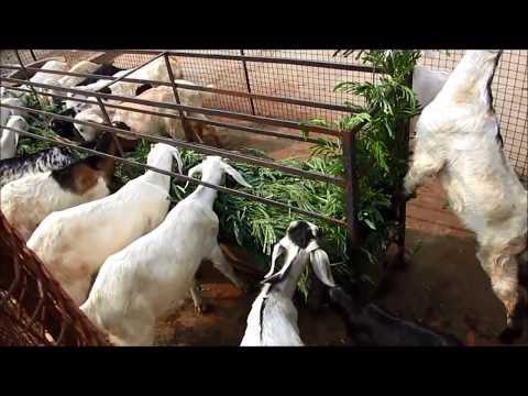 A Simple Goat Farm Part- II