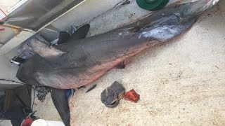 3m long & 200kg Great White Shark JUMPS into fisherman