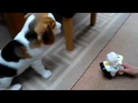 benson beagle kills a cow