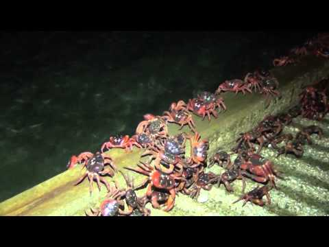 Annual Red Crab Migration on Christmas Island