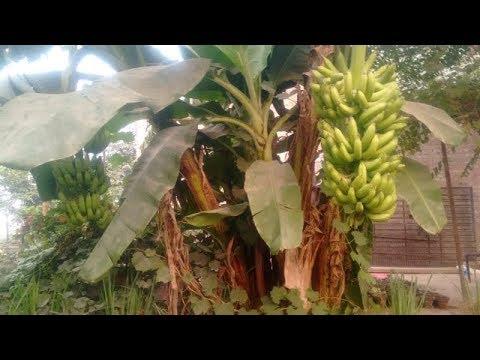 762#Fruit Plants | Expert Briefing on Banana Plant | Ik Plant Ko Bas Ik Bar Hi Fruiting Hoti Hai