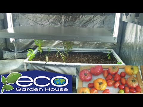 Planting Tomatoes & Basil In The Eco Garden House Grow Indoors 24-7-365 The WI Vegetable Gardener