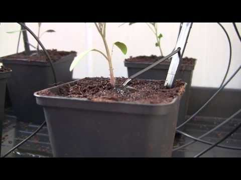 Water drip irrigation with electronic pump - Tomato plants