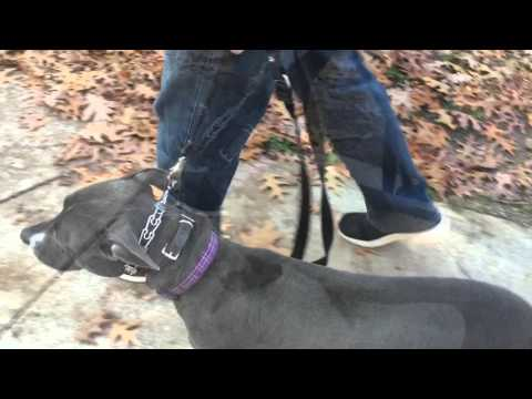 Disobedient American Pitbull Terrier: trained to behave as a calm family dog