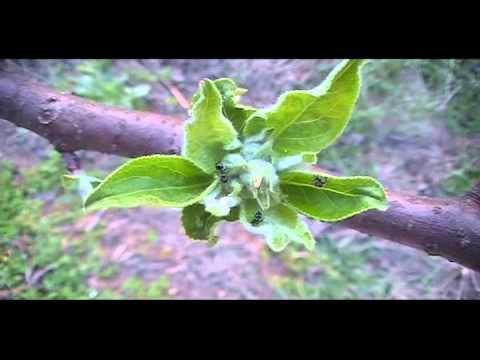Apple trees rapid bud growth